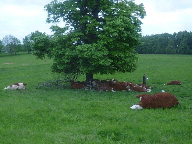 Krávy, které zabil blesk.