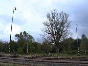 Mohutný zhruba 250 let starý topol černý roste ve Varnsdorfu na kraji města.