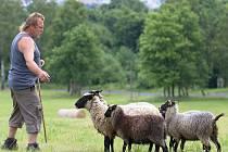 Psi na Dymníku předvedli, jak dokáží zvládnout ovce.