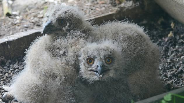 V Zoo Děčín se vylíhla nová výřata.
