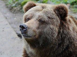 V Zoo Děčín uhynula Helga, poslední samice grizzlyho v ČR