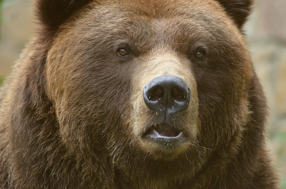 Medvěd Sigfried z děčínské zoo uhynul.