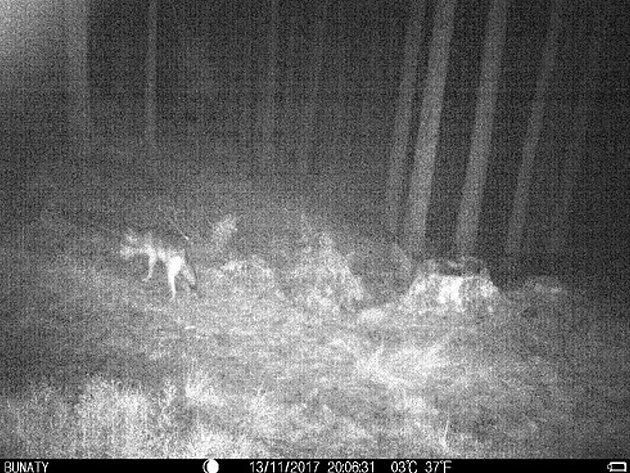 Koza žije vlesích Českého Švýcarska mezi vlky.