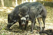 Dvouletý chovný pár ohrožených zvířat z Filipín získala zahrada ze zoo v Rotterdamu.