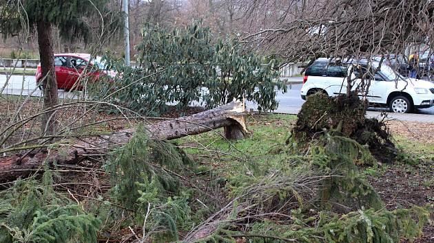 Eberhardt kácel stromy i v Děčíně u polikliniky.