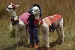 Oblečené lamy platí za dobrou turistickou atrakci
