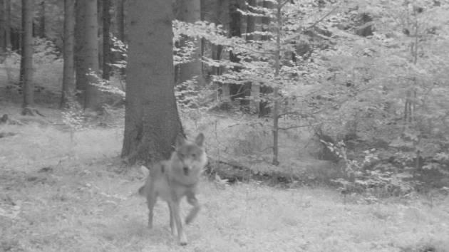 Snímek vlka, kterého vidíte, pořídila fotopast.
