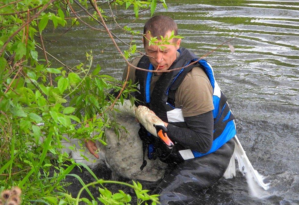 Záchrana labuťáka na Zámeckém rybníku.