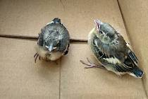 Skupinka dětí přinesla na podatelnu místního úřadu ptáčata, našla je v parku u zámku