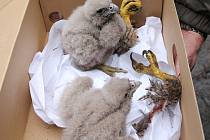 Zachráněná sokolí mláďata.