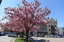 Na děčínském Masarykově náměstí vykvetly sakury.