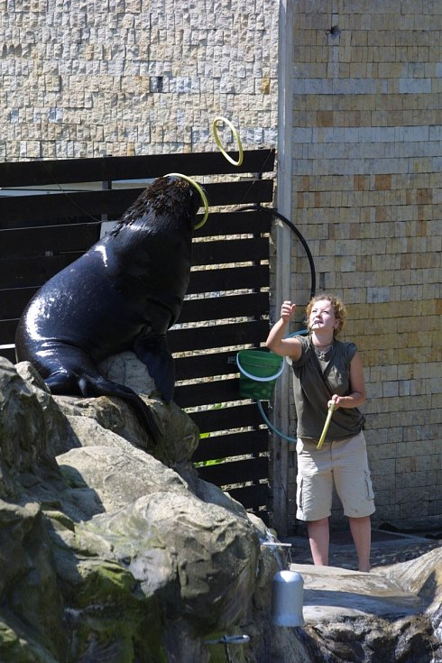 Lachtan Gaston v zoo.