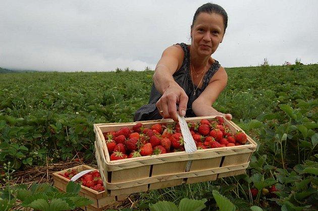 V Dolních Habarticích na Děčínsku, kousek za Benešovem nad Ploučnicí, začal sběr jahod.