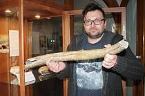 Pozůstatky mamuta v děčínském muzeu.
