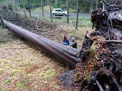 Vyvrácený smrk dosahoval výšky přes 46 metrů a jeho odhadované stáří je přes 200 let.