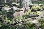 Kozy šrouborohé v Zoo Děčín.