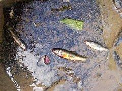 Úhyn ryb v Jílovském potoce.