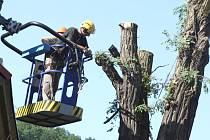 Vzácný strom v centru Děčína padl.