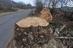 Alej starých topolů padla u silnice v Řehlovicích.