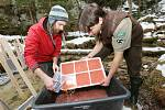 V pátek dopoledne pracovníci národního parku v Jetřichovicích nedaleko Dolského mlýna umístili do takzvaných rybích inkubátorů tisíce jiker lososa obecného.
