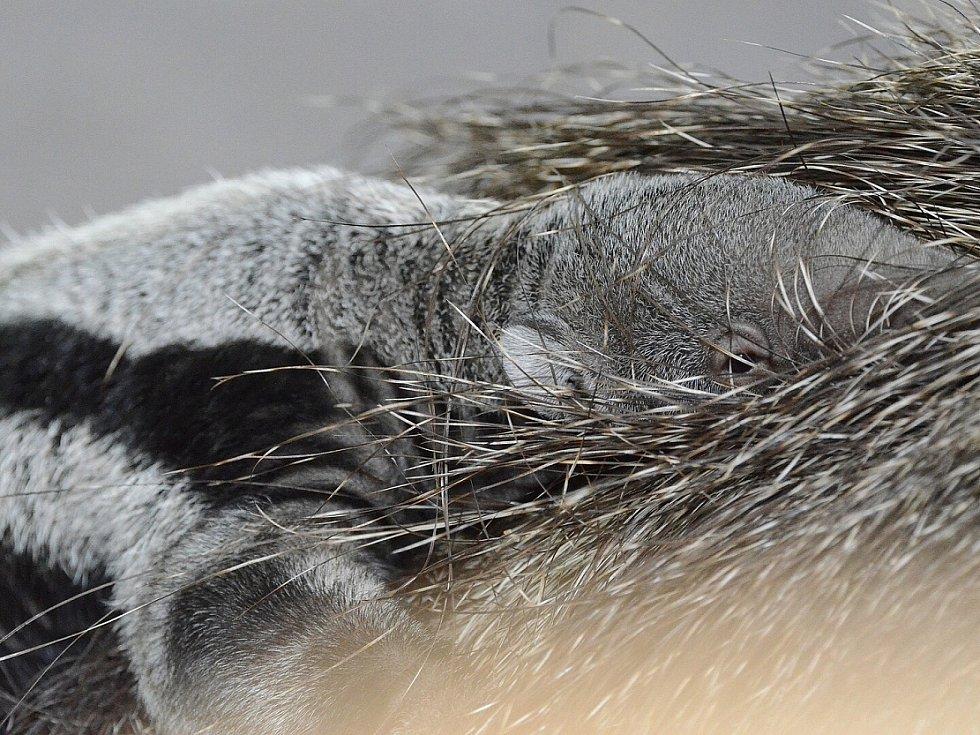 Děčínská zoo se rozloučila s prvním mládětem mravenečníka. Rok a půl stará samice Oli odjela do téměř dvanáct set kilometrů vzdáleného anglického Drusillas Parku, kde na ni čeká zcela nová expozice.