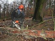 Kůrovec likviduje na Pastýřské stěně koruny stromů, padnou jich desítky.