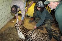 Nemocný levhart: v děčínské zoo musel pomoci veterinář.