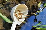 Rybáři vysadili do dvou toků na severu Čech 40 tisíc lososů.