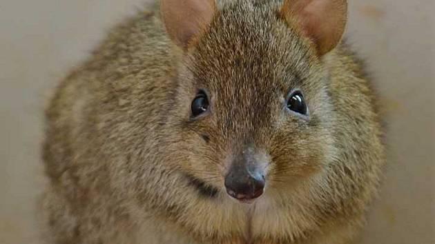 Nový druh v Zoo Děčín: Klokánek králíkovitý