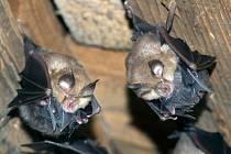 Samičky vrápenců malých s mláďaty vyhledávají klidné půdní prostory lidských staveb.