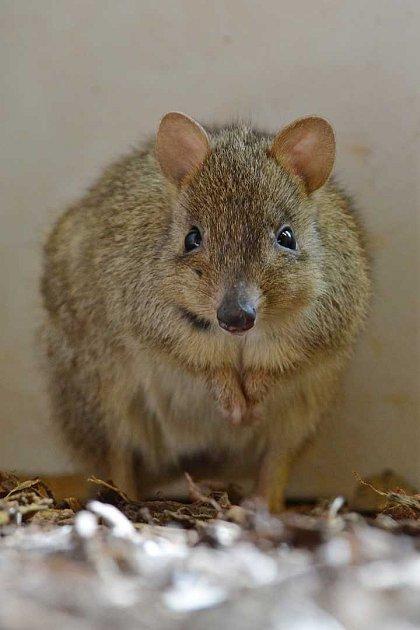 Nový druh vZoo Děčín: Klokánek králíkovitý