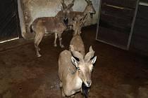Návštěvníci děčínské zoo mají možnost vidět v zoo nové zvíře. Jde o zvláštního kopytníka - kozu šrouborohou