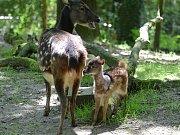 Zoo se raduje z odchovu vzácného jelínka sambara skvrnitého.