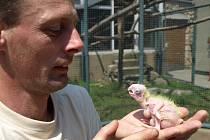 Zoolog Roman Řehák s několikadenním mládětem.