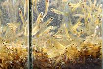 Do přítoků Labe vyplulo 200 tisíc malých lososů.