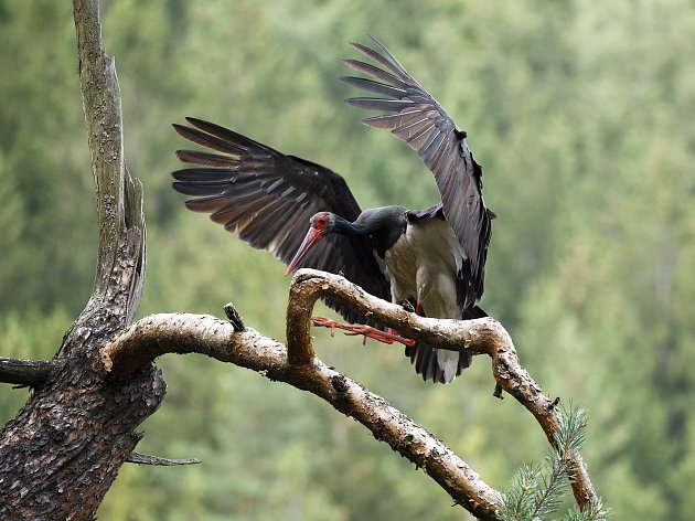 Dospělý čáp černý přilétá k hnízdu.