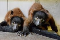 Ošetřovatelé děčínské zoologické zahrady se radují z prvního odchovu kriticky ohrožených lemurů vari červených.