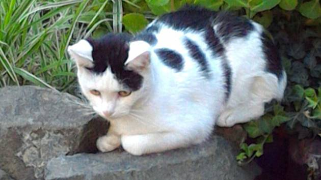 Kočka Terezka, která se aktuálně hledá