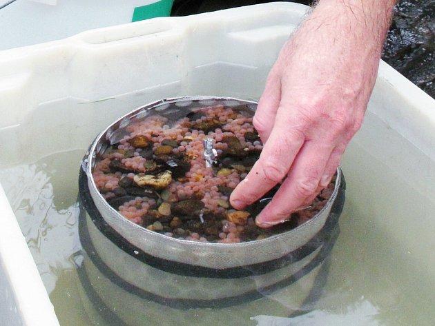 Práce s lososy vyžaduje trpělivost a řadu akcí během roku. Nechybí ani tradiční vypouštění.