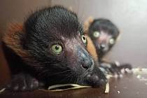 Lemur vari červený v děčínské zoo.