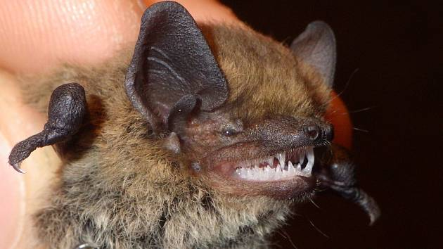Netopýr jižní je jedním ze dvou nově objevených druhů v Českém Švýcarsku.