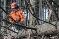 Ilustrační snímek. Kácení stromů napadených kůrovcem.
