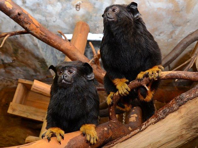 Zoo začala s chovem žlutorukých opiček