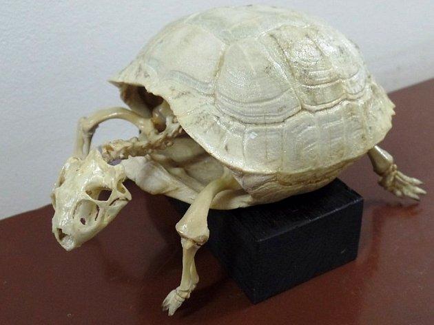 Vlastivědné muzeum a galerie v České Lípě vystavuje kostry a lebky zvířat.