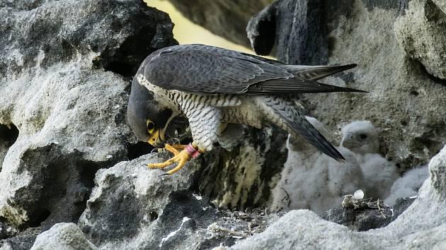 Sokoli stěhovaví na hnízdě.