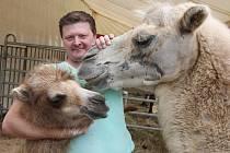 Cirkus Bernes láká na velbloudí mládě.