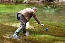 Návrat lososů do Labe pokračuje