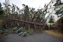 Zlomený strom po vichřici Sabine.