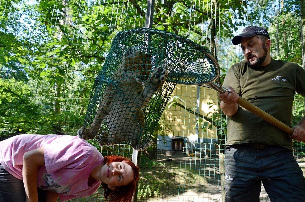 Kontrola pohlaví kotěte rysa ostrovida v děčínské zoo.