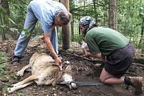 Vlka ošetřil veterinář